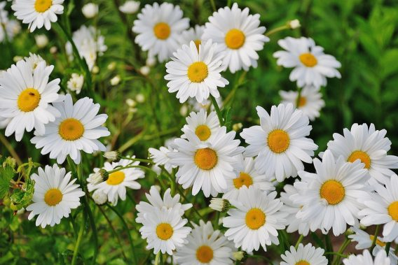 bloom-blossom-daisies-67857