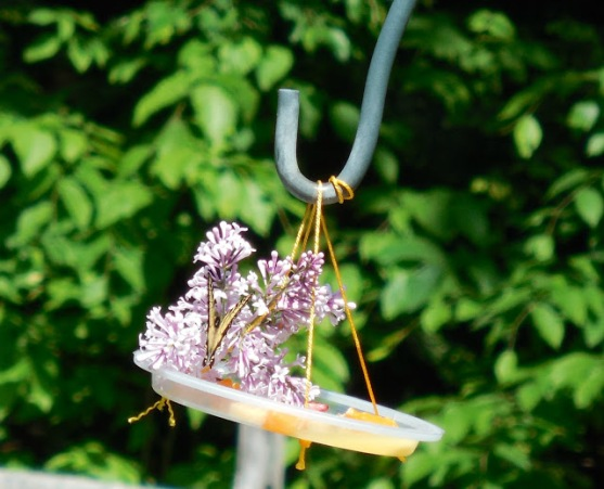 butterfly+on+feeder